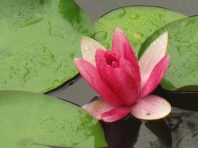 雨に薫る睡蓮